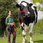 0d7764695c55c5d1c3edadce4a2a2cb9_M بزرگترین گاو دنیا  بزرگترین گاو دنیا  0d7764695c55c5d1c3edadce4a2a2cb9 M